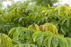 pájaro del tarareo encaramado en una licencia del árbol Imagen de archivo