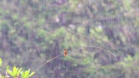 Pájaro del tarareo encaramado en una rama almacen de video