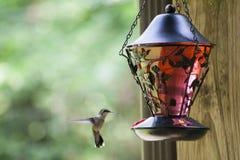 Pájaro del tarareo que alimenta 1 imágenes de archivo libres de regalías