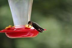 Pájaro del tarareo que alimenta desde alimentador Foto de archivo
