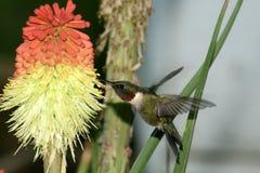 Pájaro del tarareo que asoma fotografía de archivo