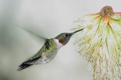 Pájaro del tarareo que asoma Fotos de archivo