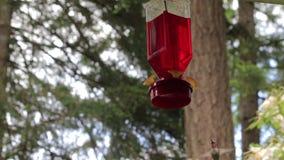 Pájaro del tarareo que asoma debajo de alimentador almacen de metraje de vídeo