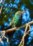 Pájaro del tarareo que descansa la rama del ona Foto de archivo
