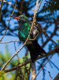 Pájaro del tarareo que descansa sobre una rama Imagen de archivo libre de regalías