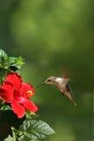 Pájaro del tarareo que introduce en el retrato de la flor Foto de archivo