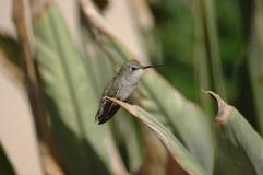 Pájaro del tarareo que se sienta Fotografía de archivo libre de regalías