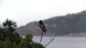 Pájaro del tarareo que se sienta en rama con agua en fondo almacen de metraje de vídeo