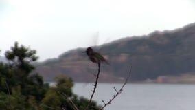 Pájaro del tarareo que se va y que vuelve a la rama con agua en fondo almacen de video