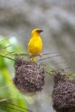 Pájaro del tejedor Fotos de archivo