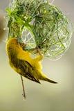 Pájaro del tejedor Fotografía de archivo