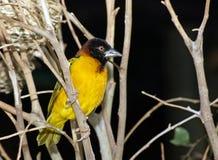 Pájaro del tejedor de la aldea fotografía de archivo