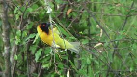 Pájaro del tejedor del pueblo en Kenia almacen de metraje de vídeo