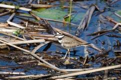 Pájaro del tipo de tero norteamericano, Savannah National Wildlife Refuge Foto de archivo libre de regalías