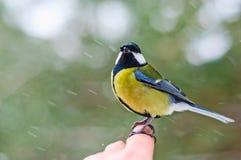 Pájaro del Tit Fotografía de archivo