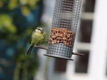 Pájaro del Tit azul en alimentador Fotografía de archivo libre de regalías