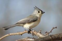 Pájaro del Titmouse copetudo Imagen de archivo