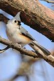 Pájaro del Titmouse copetudo en la ramificación Imagen de archivo libre de regalías