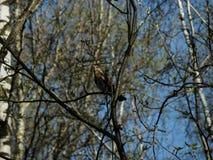 Pájaro del tordo de madera que se sienta en una rama Foto de archivo