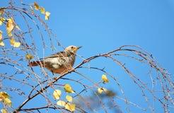 Pájaro del tordo en rama de árbol Fotos de archivo libres de regalías