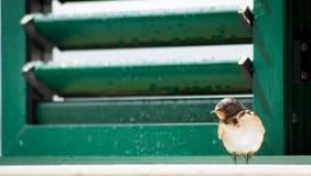 Pájaro del trago que se sienta en ventana Fotografía de archivo libre de regalías