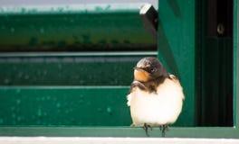 Pájaro del trago que se sienta en ventana Imágenes de archivo libres de regalías