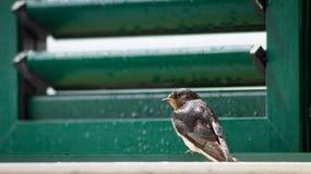 Pájaro del trago que se sienta en ventana Foto de archivo libre de regalías
