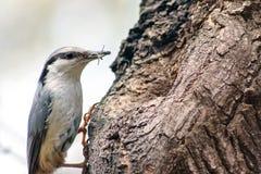 Pájaro del trepatroncos en europaea del sitta del hábitat natural Fotografía de archivo libre de regalías