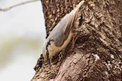 Pájaro del trepatroncos en europaea del sitta del hábitat natural Fotos de archivo libres de regalías