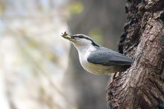 Pájaro del trepatroncos en europaea del sitta del hábitat natural Imágenes de archivo libres de regalías