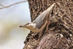 Pájaro del trepatroncos en europaea del sitta del hábitat natural Fotos de archivo