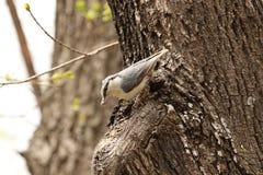 Pájaro del trepatroncos en europaea del sitta del hábitat natural Imagenes de archivo