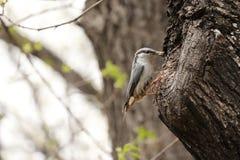 Pájaro del trepatroncos en europaea del sitta del hábitat natural Foto de archivo