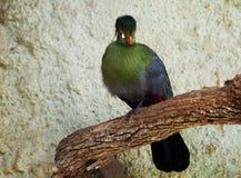 Pájaro del Turaco Imagenes de archivo