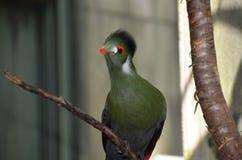 Pájaro del Turaco de Guinea Foto de archivo