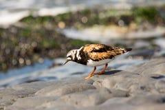 Pájaro del Turnstone Fotos de archivo libres de regalías