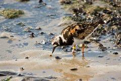 Pájaro del Turnstone Fotos de archivo