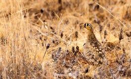 Pájaro del urogallo camuflado en la sabana africana Fotografía de archivo
