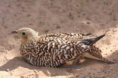 Pájaro del urogallo de arena Imagen de archivo libre de regalías