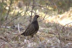 Pájaro del urogallo Spruce Imágenes de archivo libres de regalías