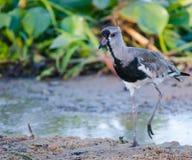 Pájaro del Vanellus que camina en la arena fotos de archivo