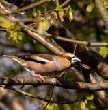 Pájaro del varón del Hawfinch Imágenes de archivo libres de regalías
