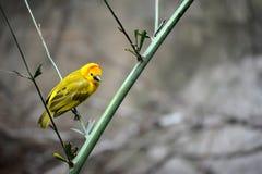 Pájaro del verde amarillo en rama Foto de archivo libre de regalías