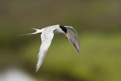 Pájaro Del Vuelo Imágenes de archivo libres de regalías