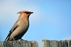 Pájaro del Waxwing Foto de archivo libre de regalías