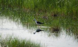 Pájaro del zanco en la búsqueda para la comida Imágenes de archivo libres de regalías