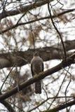 Pájaro depredador, sentándose en un árbol imágenes de archivo libres de regalías