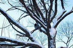 Pájaro desnudo del invierno del abedul Imágenes de archivo libres de regalías