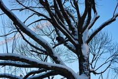 Pájaro desnudo del invierno del abedul Fotografía de archivo libre de regalías