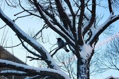 Pájaro desnudo del invierno del abedul Imagenes de archivo